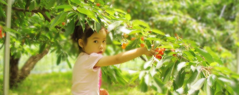 山形-米沢市-さくらんぼ狩り・ぶどう狩りの我妻観光果樹園