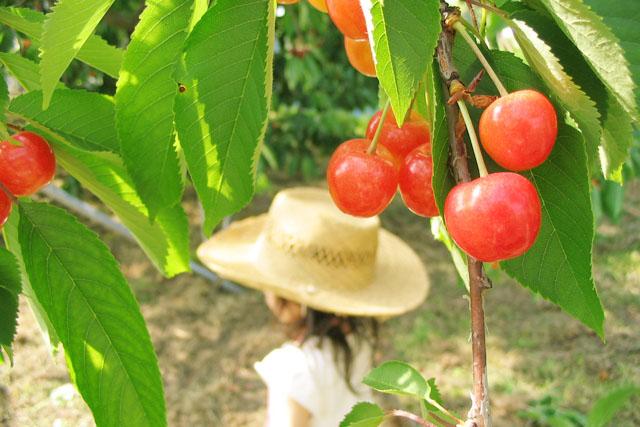 さくらんぼの旬は花で知る
